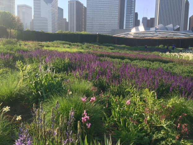 Lurie Garden's river of salvia starts to flow.