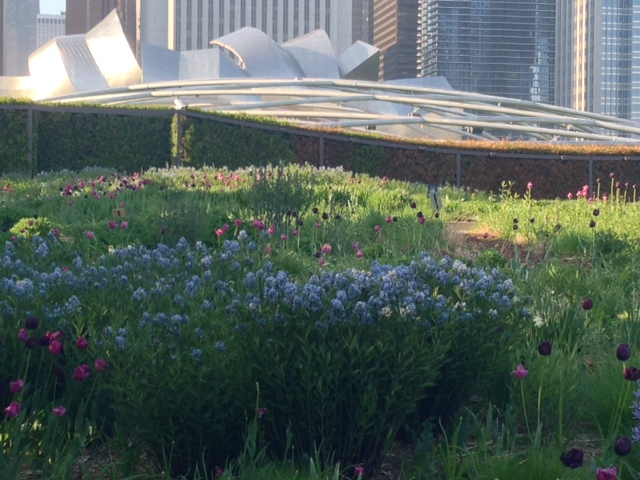 Masses of blue star at the  Lurie Garden.