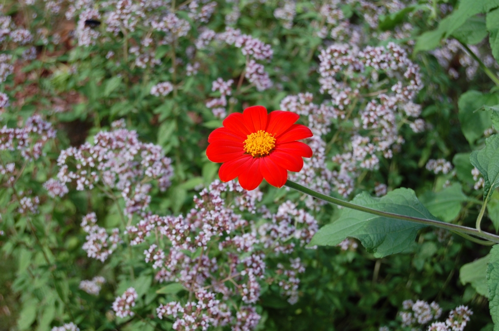Tithonia with oregano flowers, 2013.