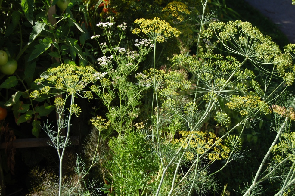 Flowering dill, 2013.