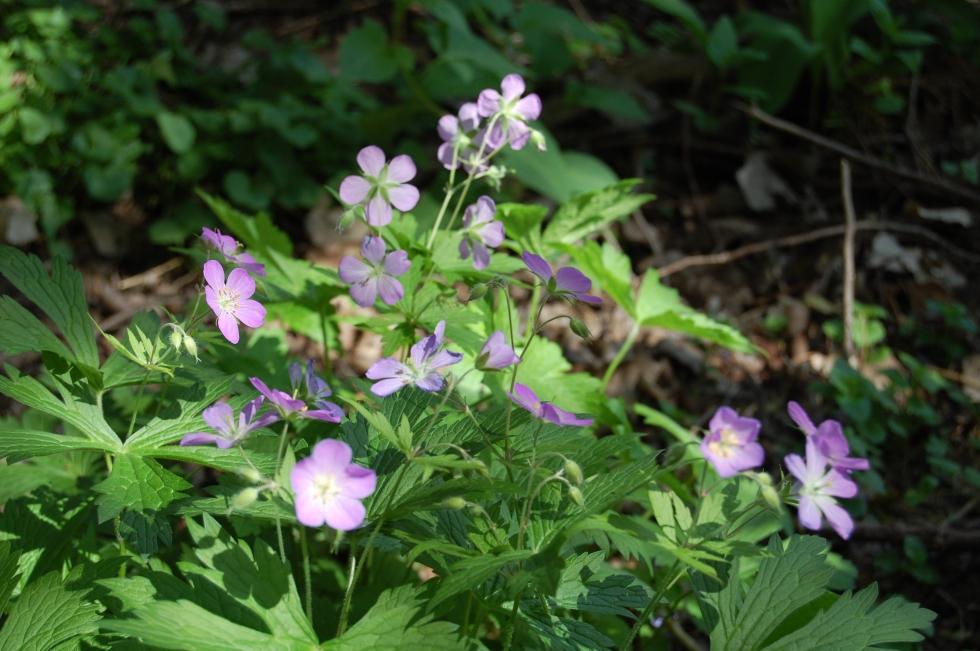 Wild geranium with lavender flowers.
