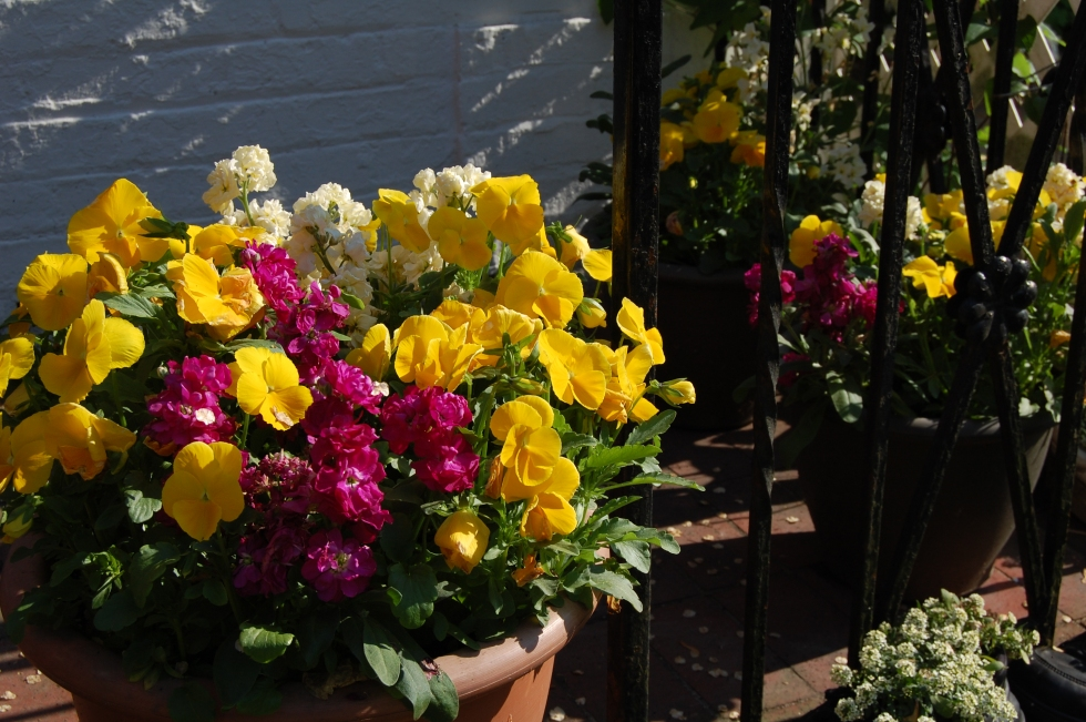 Pansies mixed with stock for fragrance.