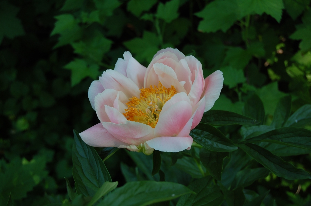 Late pink peony in the back garden, no ID.