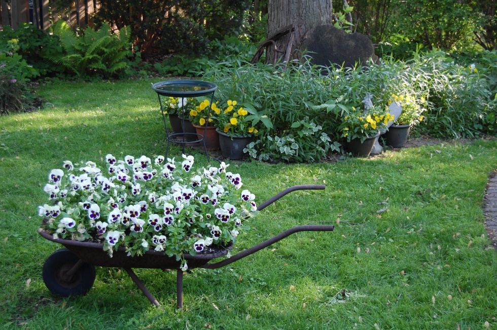 White pansies with purple faces in our old wheelbarrow planter.