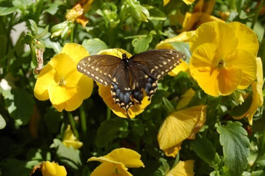 2014-06-05 11.04.18 swallowtail butterfly