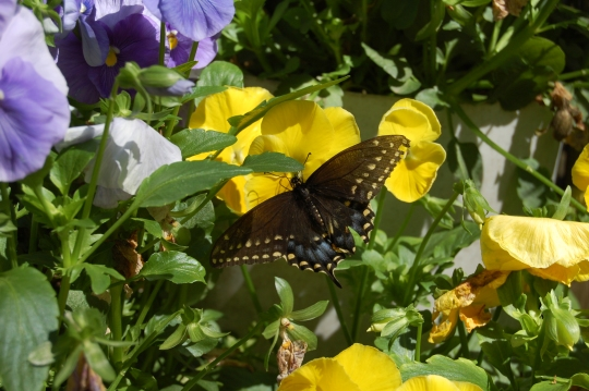 Female swallowtail butterfly nectaring on pansy.