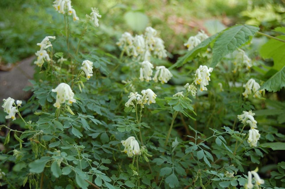 White Corydalis