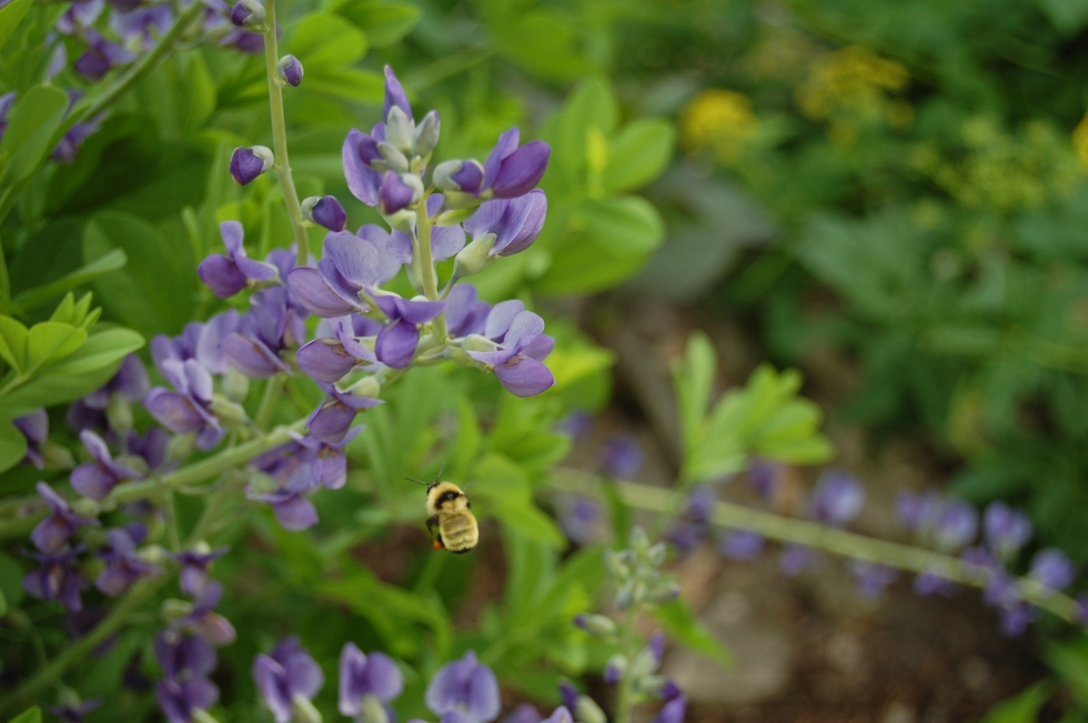 2014-06-07 10.24.12 Bumble bee and baptisia