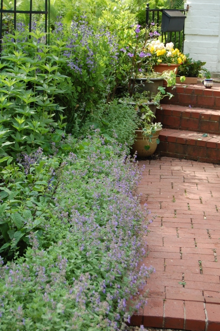 Nepeta 'Kit Kat' makes a nice edging for a sunny bed.