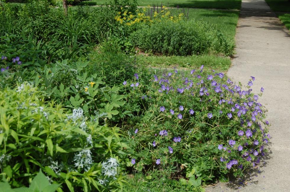 Geranium 'Johnson's Blue' billowing out onto the sidewalk.