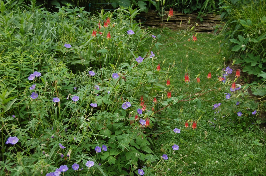 'Johnson's Blue' with columbine