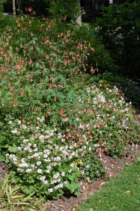 Aquilegia canadensis - wild columbine - with Geranium 'Biokovo'