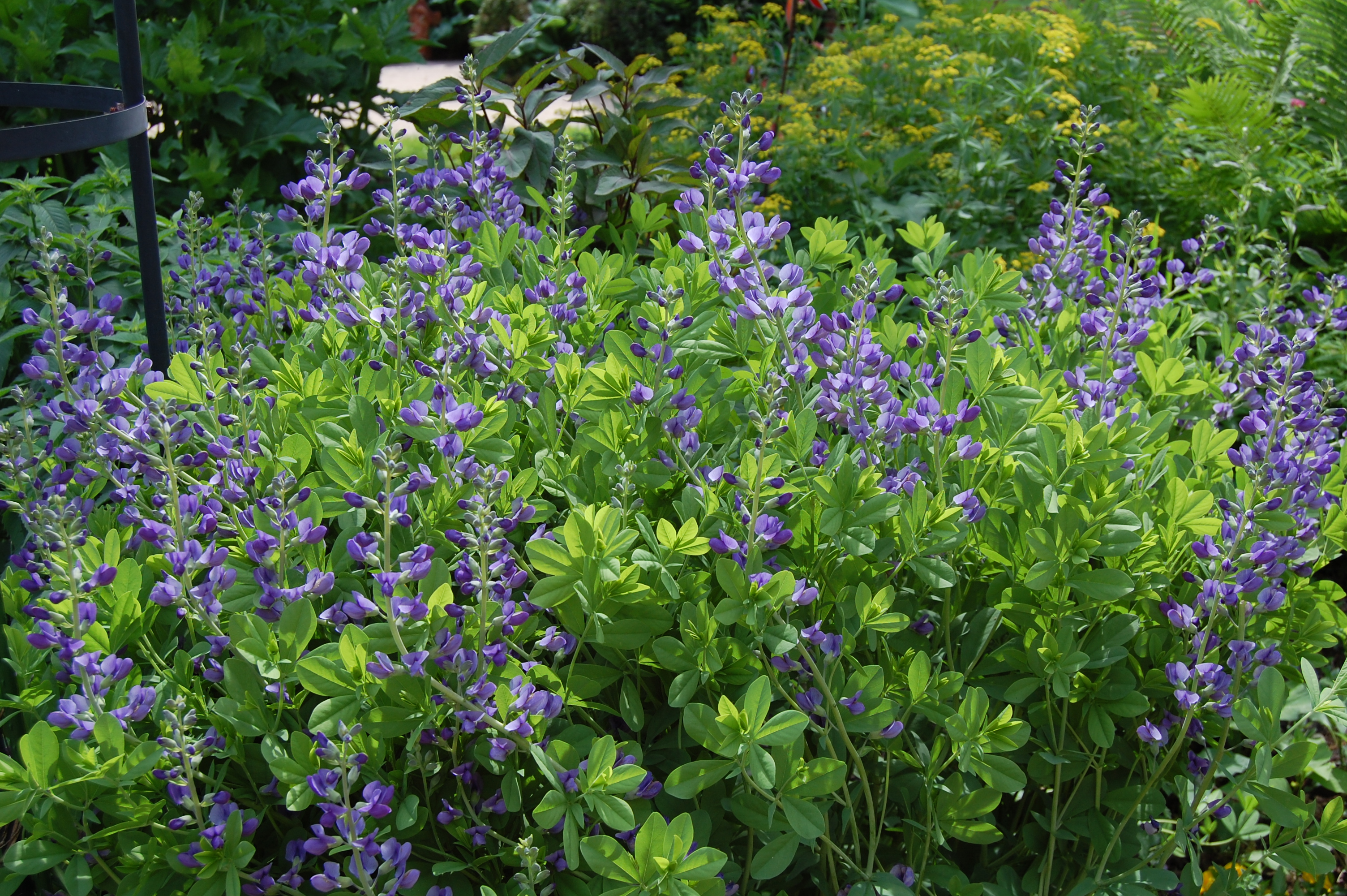 Blue blooms smiling at me gardeninacity for The indigo