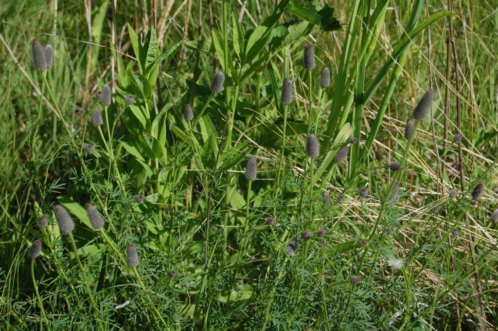 Purple Prairie Clover, without the tutus.