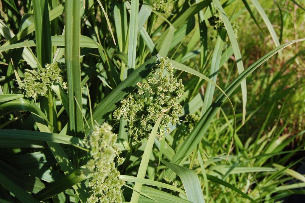 Unknown wetland grass.
