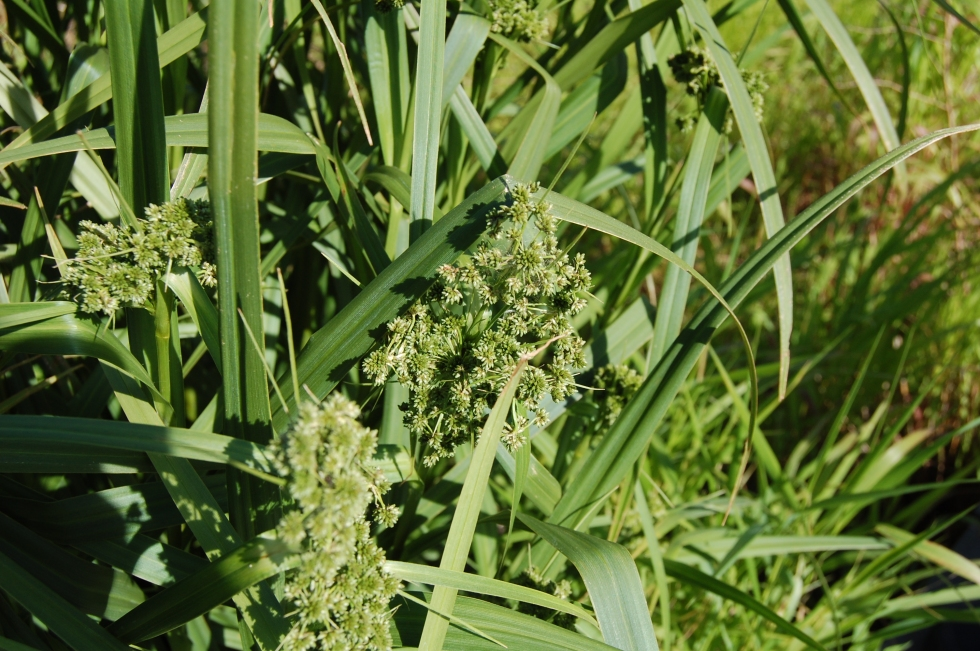 Unknown wetland grass.