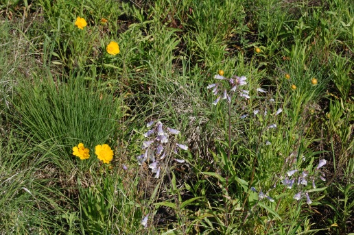 Coreopsis with Penstemon.