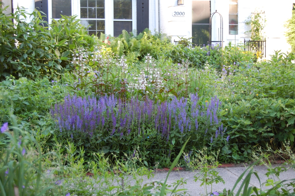 Salvias 'May Night', 'Blue Hill', and 'East Friesland' in the Sidewalk Border.