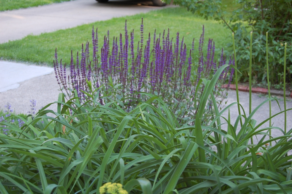 Salvia 'Caradonna' in the Parkway Bed
