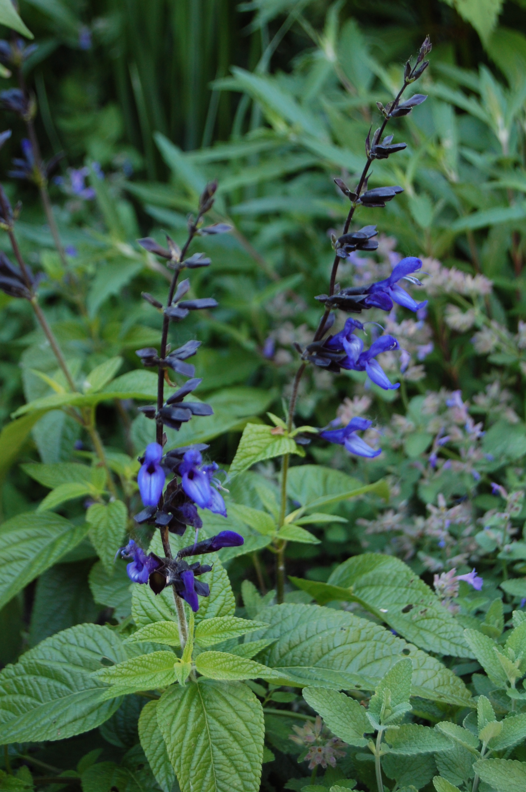 The flowers of mid june gardeninacity salvia black and blue dhlflorist Images