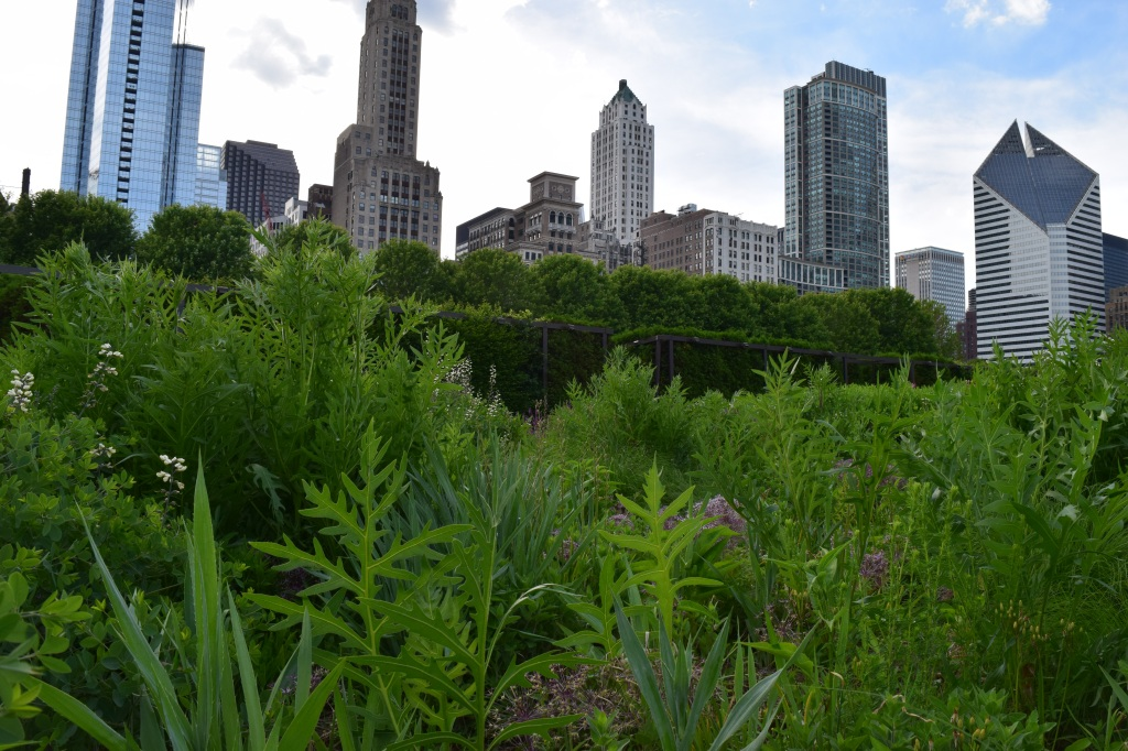 Compass Plant with Chicago skyline.