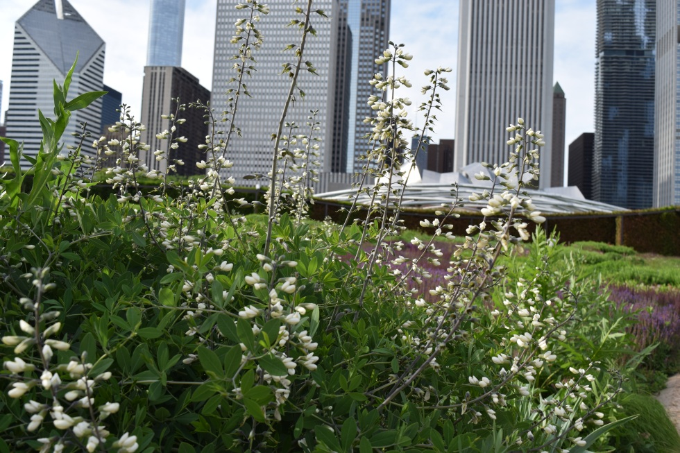 White wild indigo and the Chicago skyline.