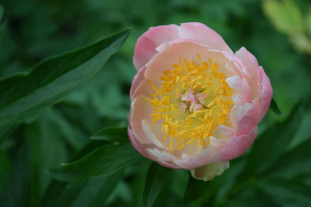 Our last pink peony, and one of the first pictures Judy took with the new camera.