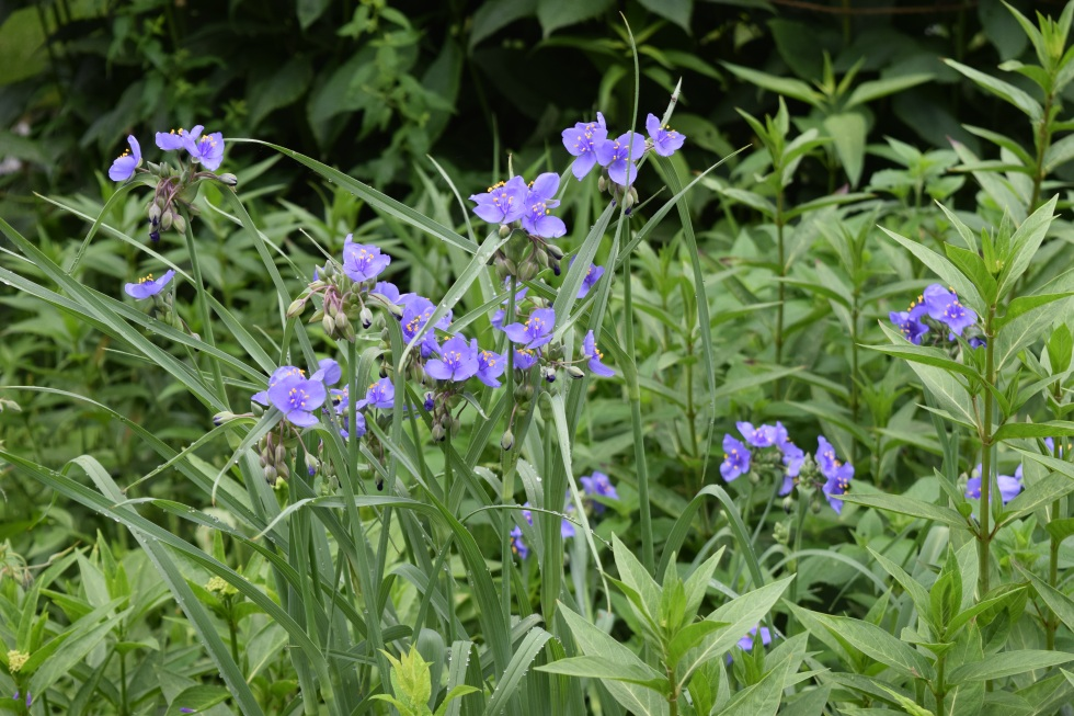 Ohio spiderwort in the front island bed.