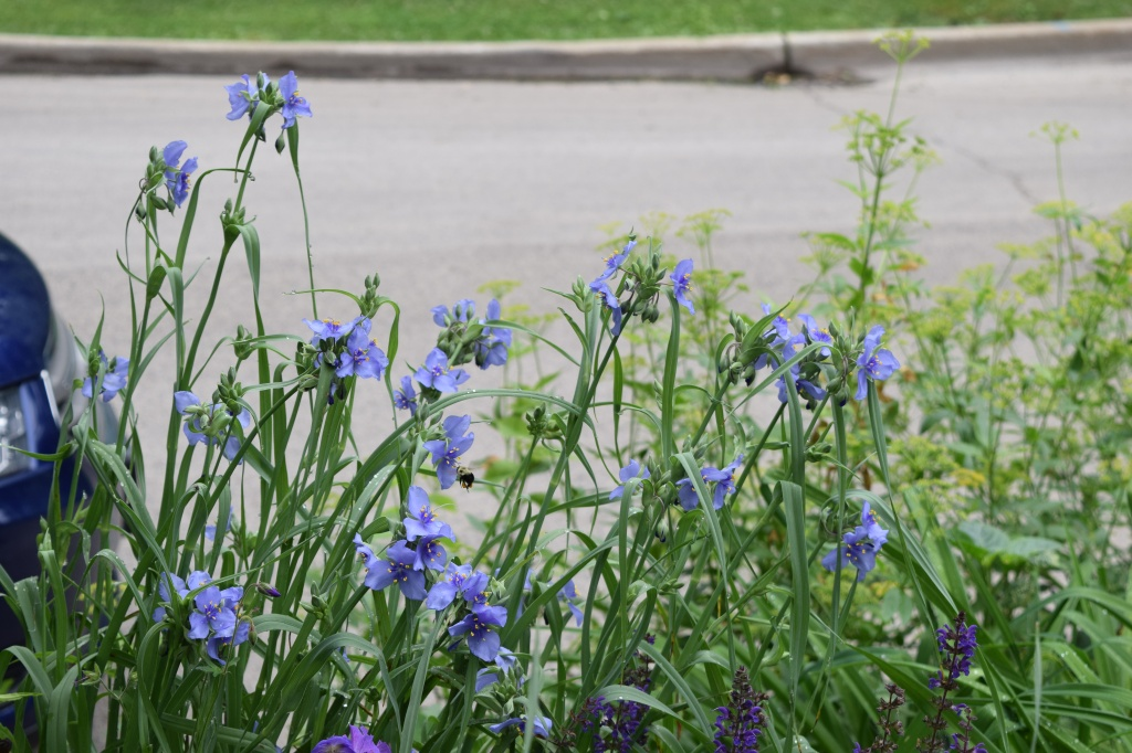 Ohio spiderwort in the parkway planting. Can you see the bumblebee coming in for a landing near the center of the photo?