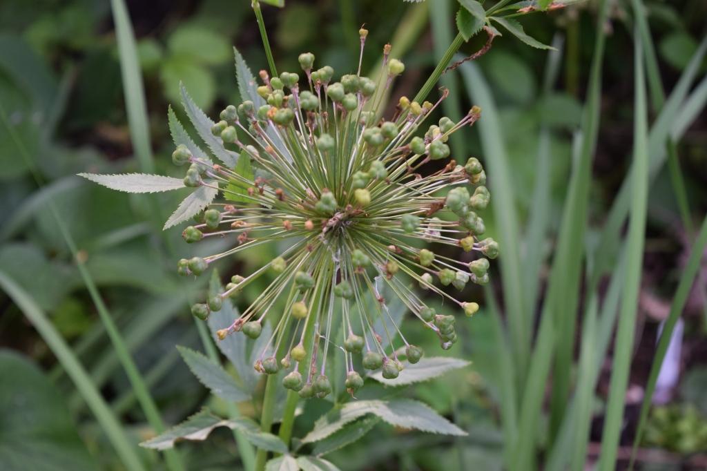 Allium 'Purple Sensation' seed head. Or exploding UGO.