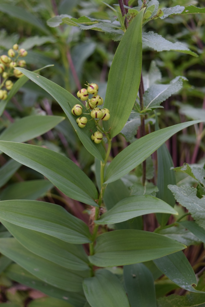 Starry Solomon's Seal