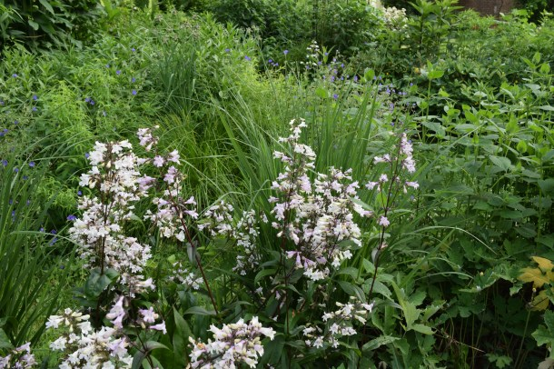 Penstemon 'Husker Red', in front of Switchgrass 'Northwind'.