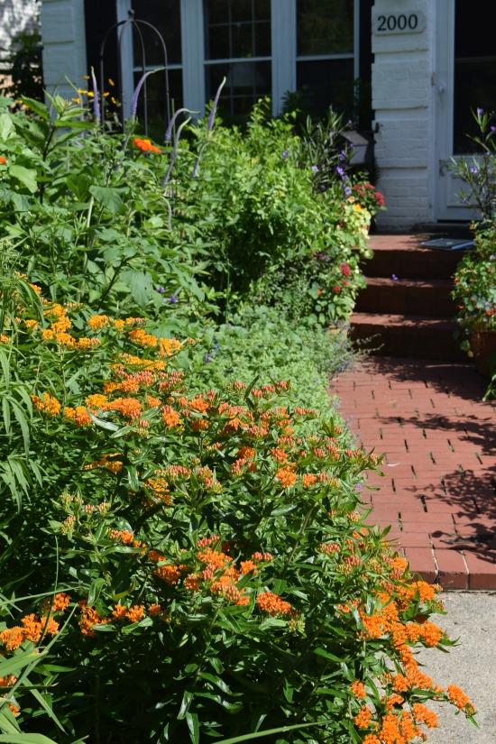 2014-07-04 16.09.48 butterflyweed, driveway border