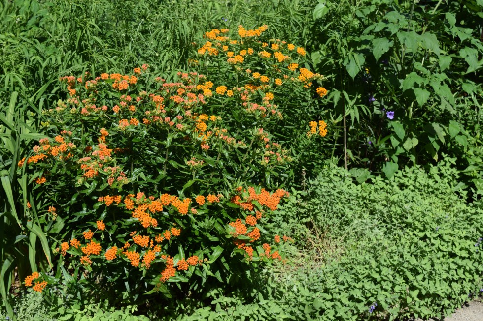 More butterflyweed. If you look closely you can see the Mexican petunia at the far end.