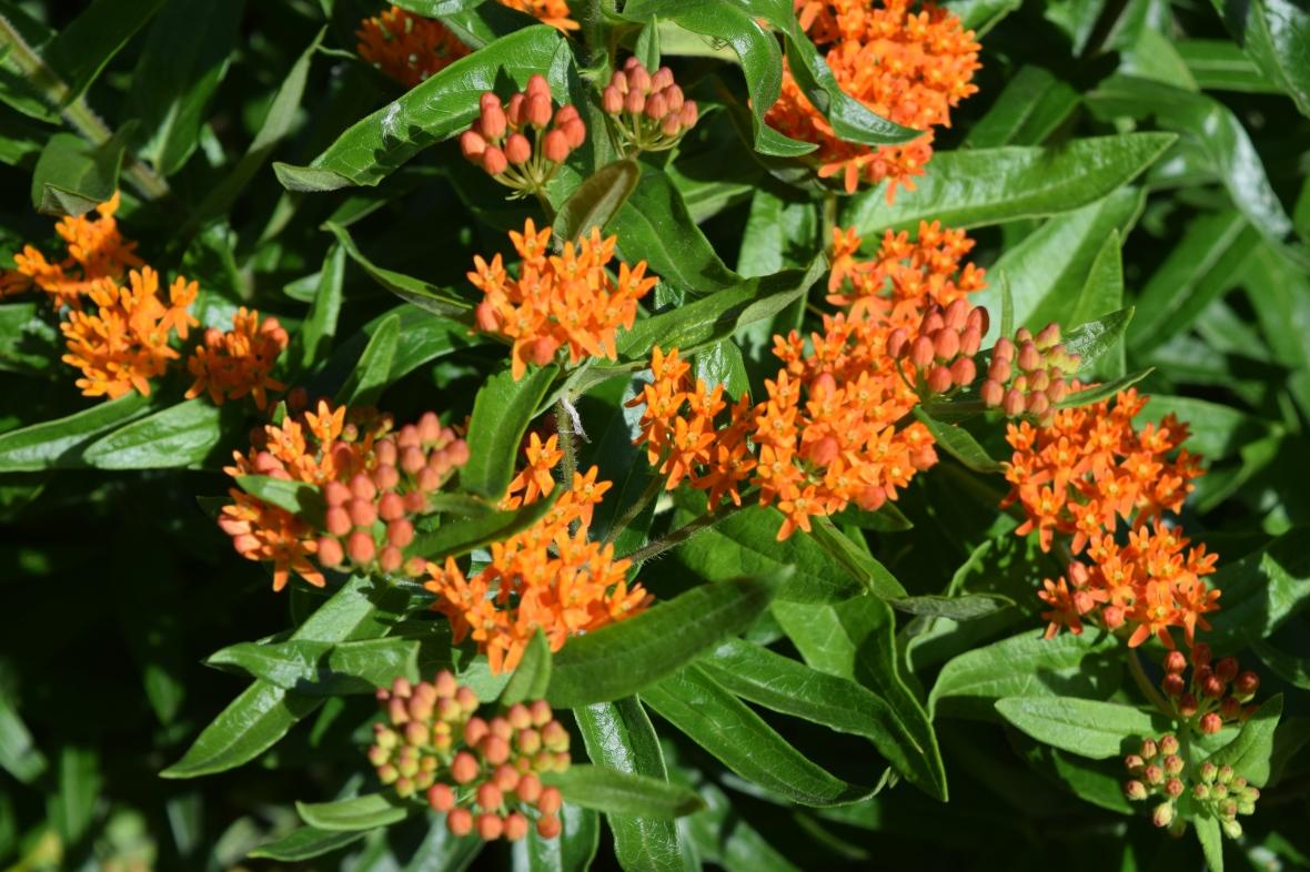 2014-07-04 16.16.40 Butterflyweed