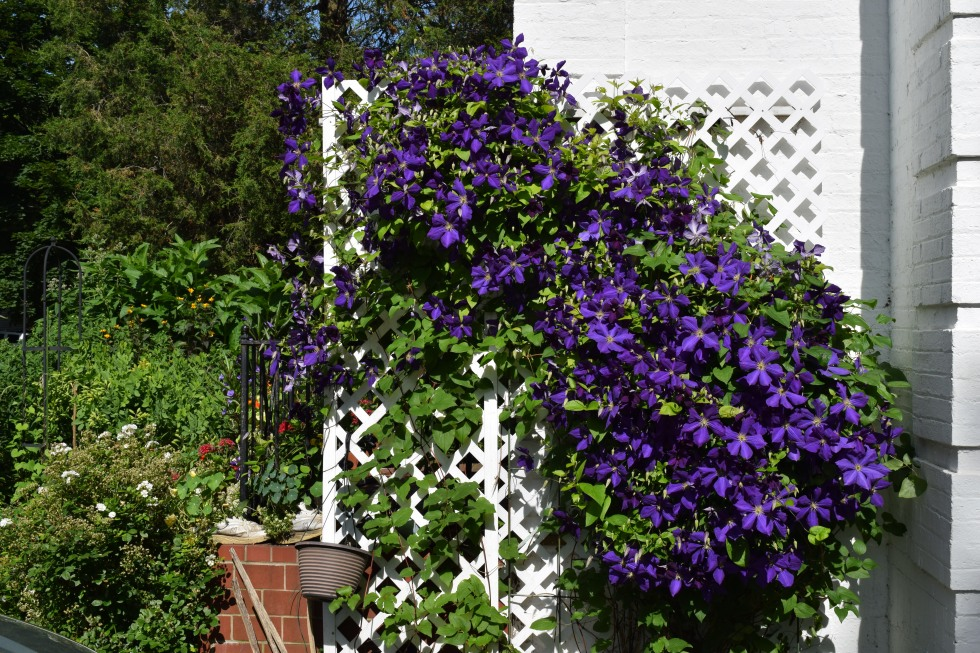 The Clematis jackmanii against the house could use a friend on the tuteur.
