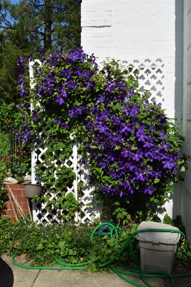 Same Clematis on July 8, 2014.