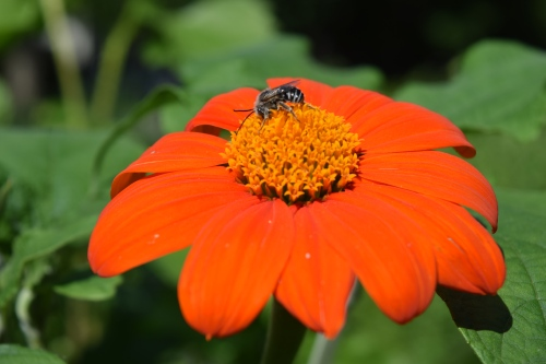 2014-07-04 16.28.06 Tithonia and bee