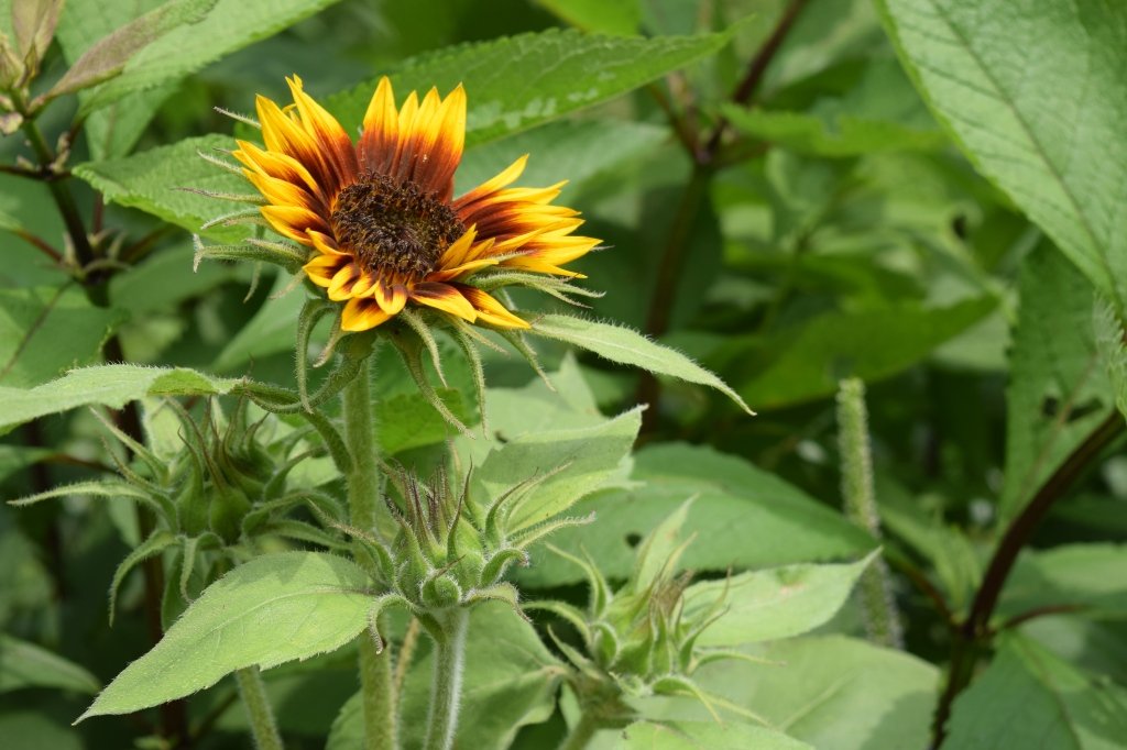Unknown sunflower
