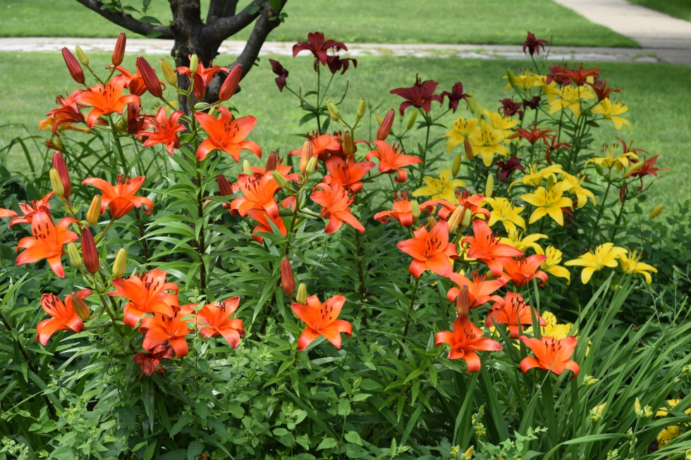 More Asiatic lilies.