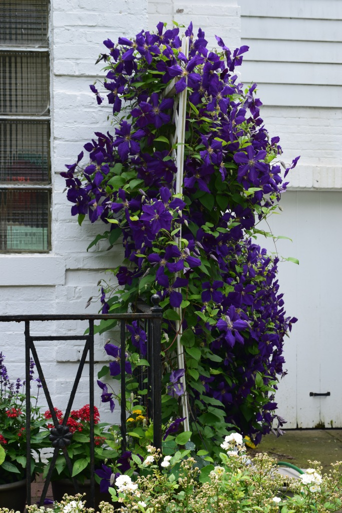 Blooming on both sides of the trellis.