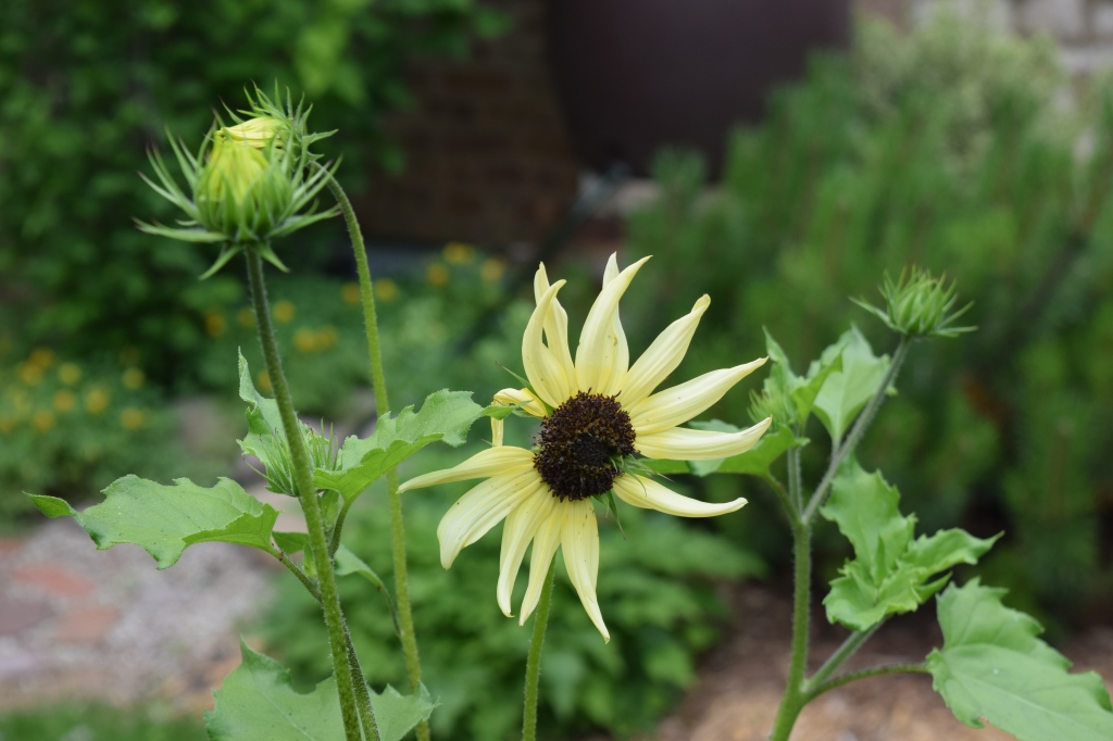 'Italian White' sunflower