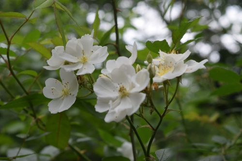 'Darlow's Enigma' is sweetly but not powerfully fragrant.