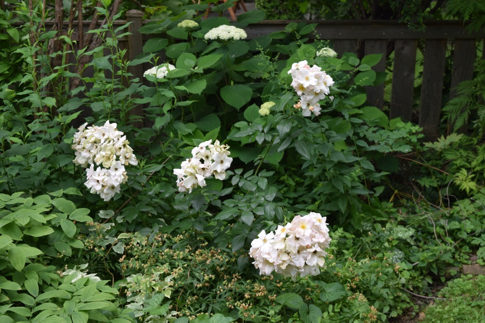 The brand new canes of 'Sally Holmes' were weighed down by blooms.