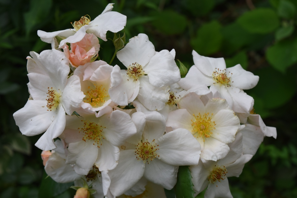 'Sally Holmes' blooms in trusses of flowers that fade from pale pink to creamy white.