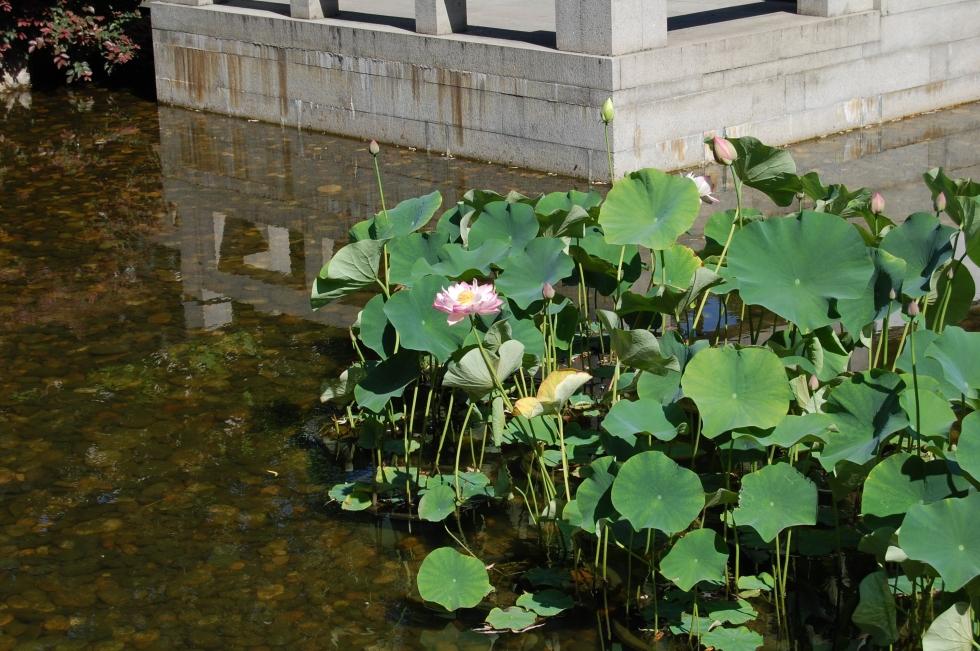 2014-07-11 12.55.34 Lan Su water lilies
