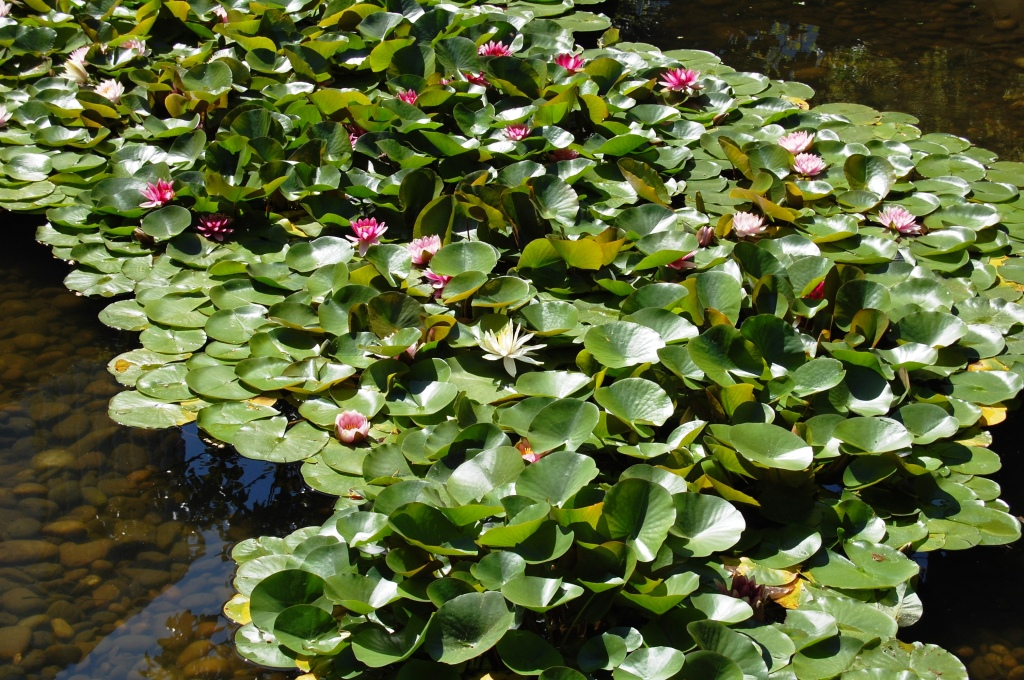 More water lilies.