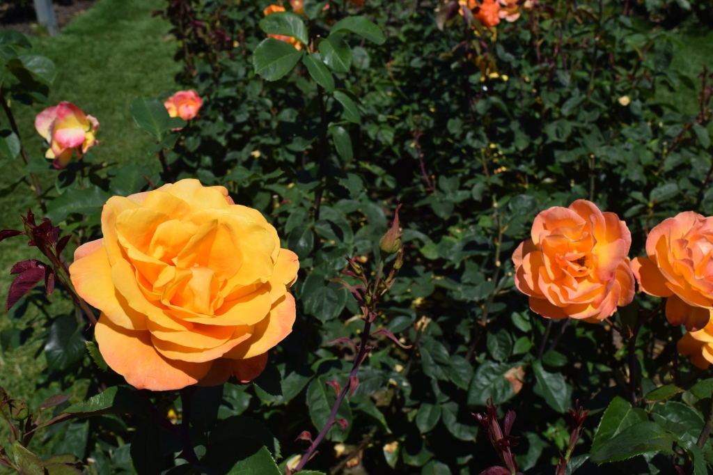 2014-07-12 14.35.11 rose strike it rich