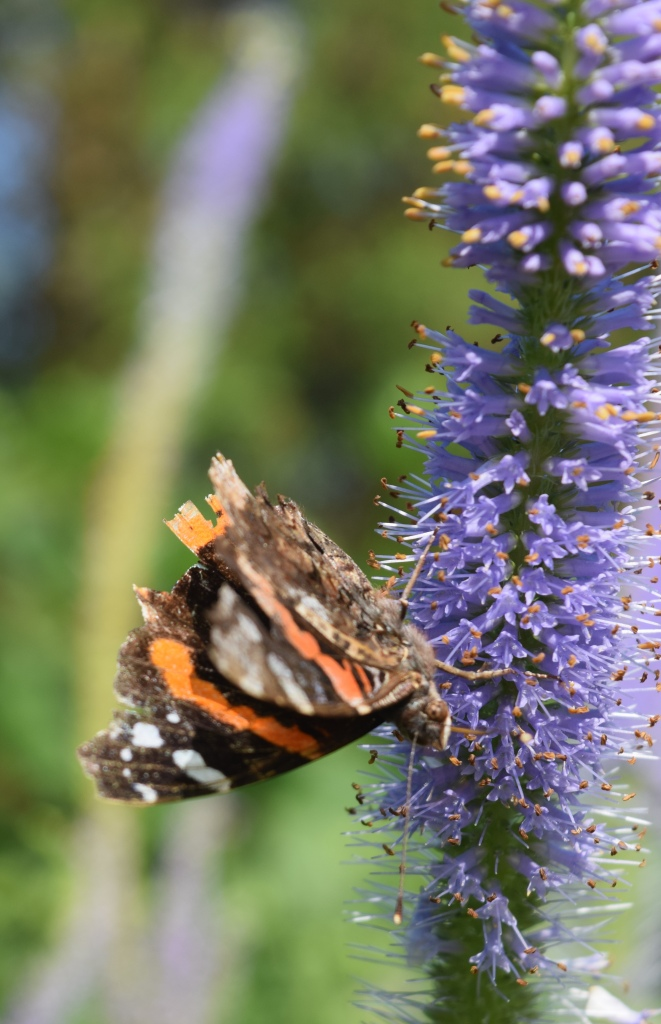 Red Admiral butterfly on 'Fascination' Culver's Root.