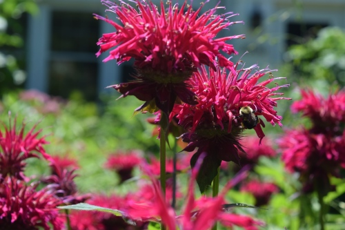 'Raspberry Wine' bee balm